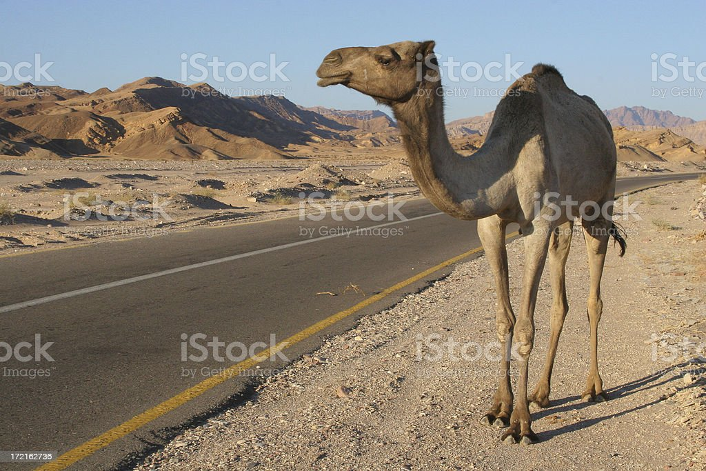 Camel in the Sinai stock photo