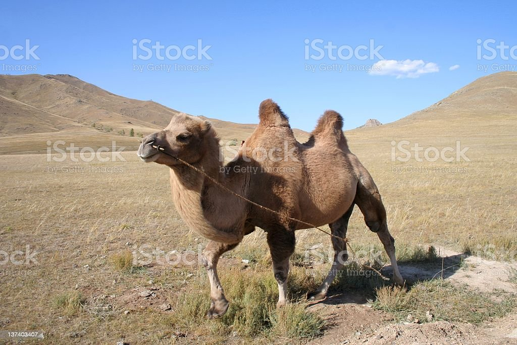 Camel in the steps of Mongolia royalty-free stock photo