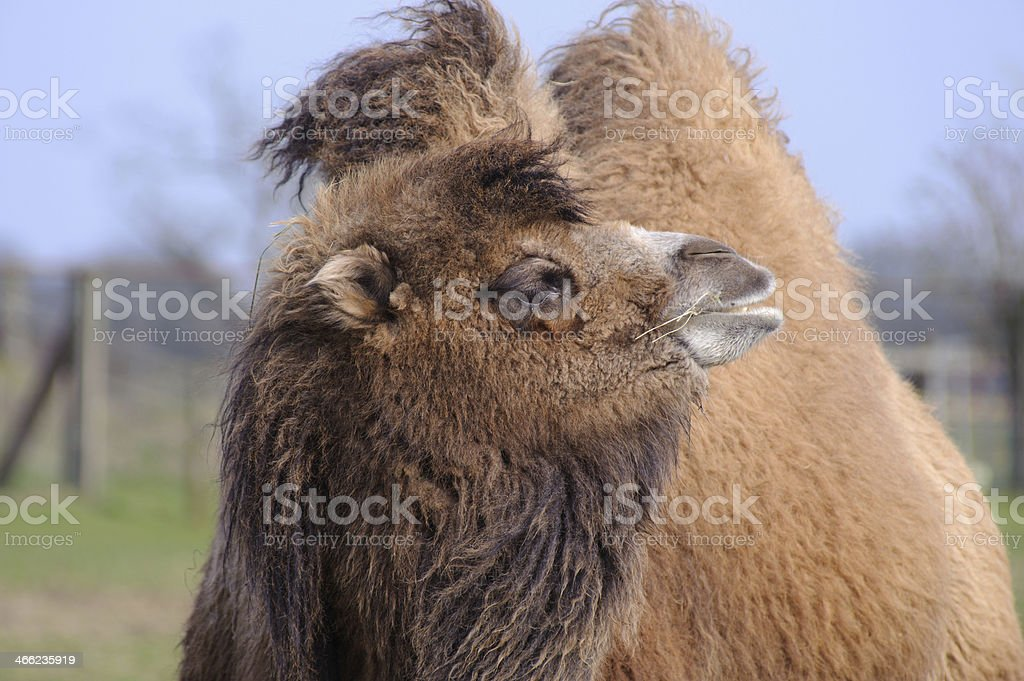 Camel in the sun royalty-free stock photo