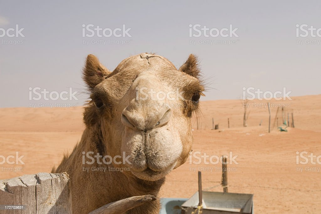 Camel in the Wahiba Sands Oman royalty-free stock photo