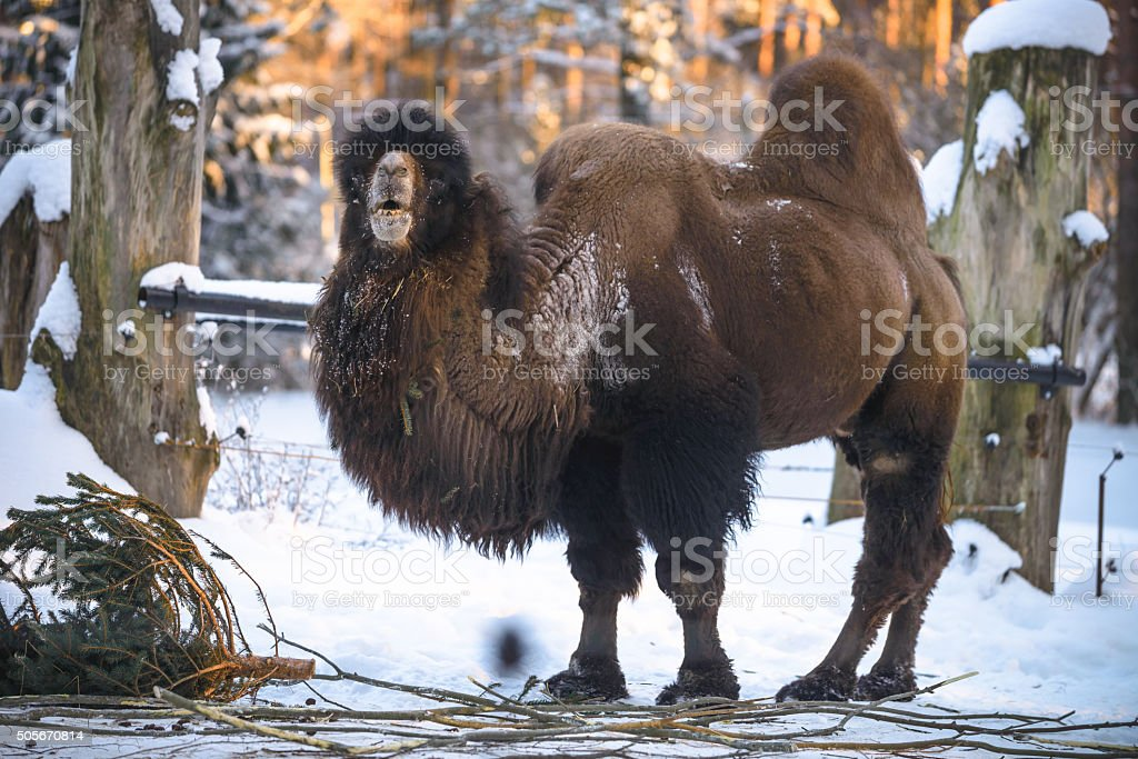 Camel in winter stock photo