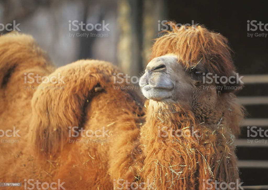 Camel in zoo stock photo