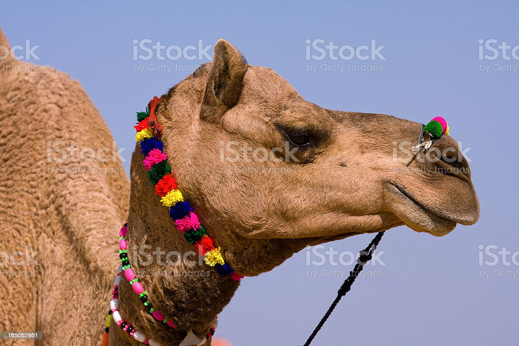 Camel, India royalty-free stock photo