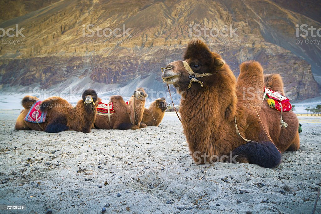 Camel is waiting for tourists in Nubra Valley, Leh. royalty-free stock photo