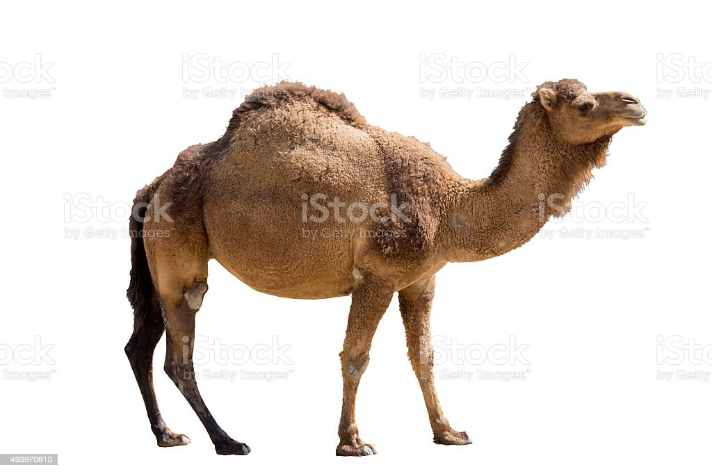 Camel isolated on white stock photo