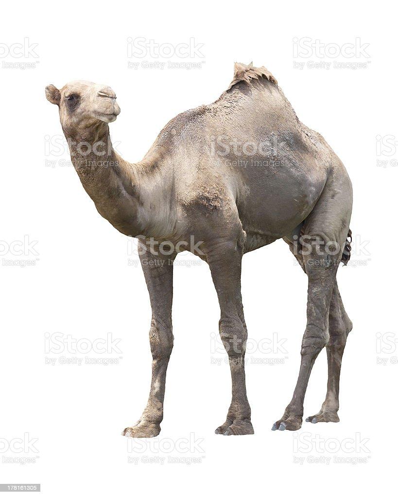 camel isolated white royalty-free stock photo