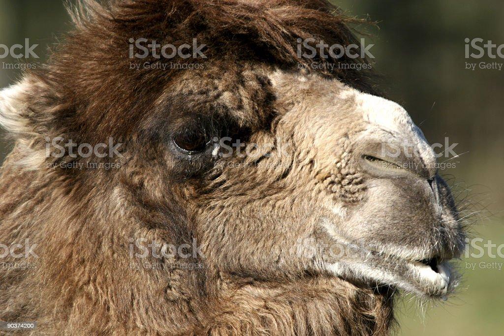 Camel Kiss royalty-free stock photo