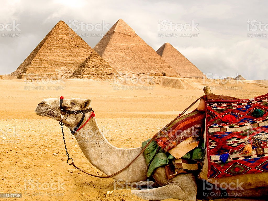 A camel laying down with pyramids in the background  stock photo