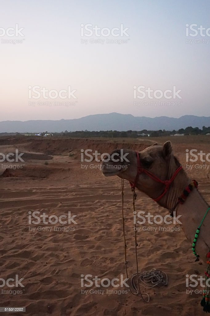 Camel laying on desert and loking stock photo