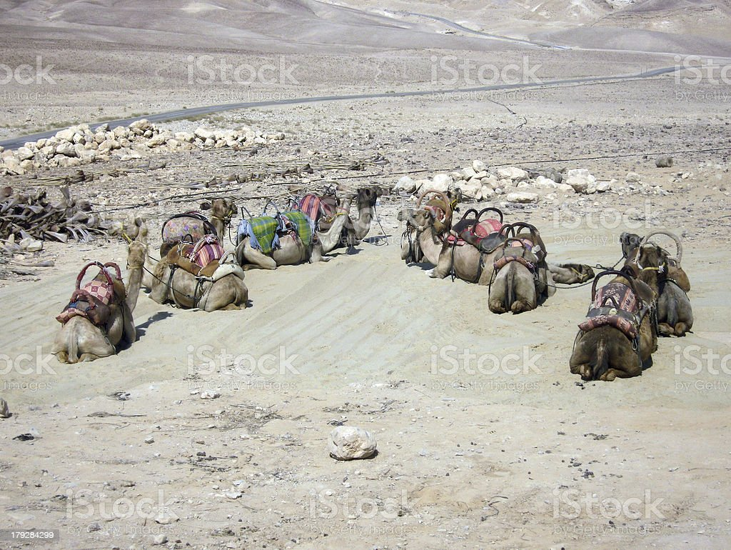 Camel Lineup royalty-free stock photo