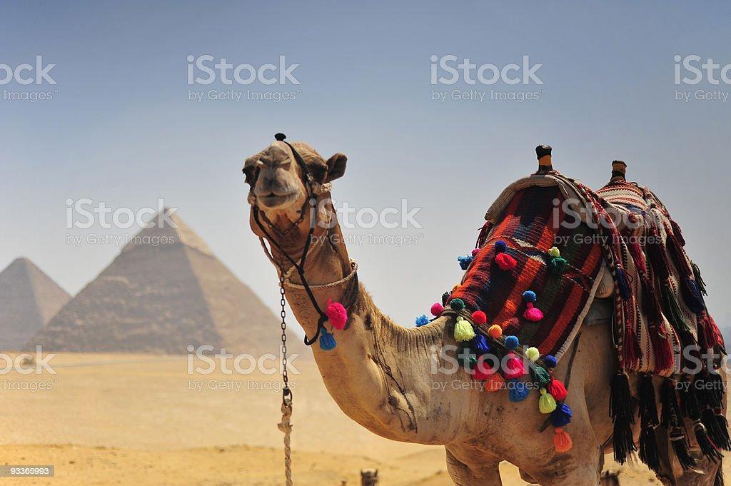 Camel Looking towards camera with Pyramid royalty-free stock photo