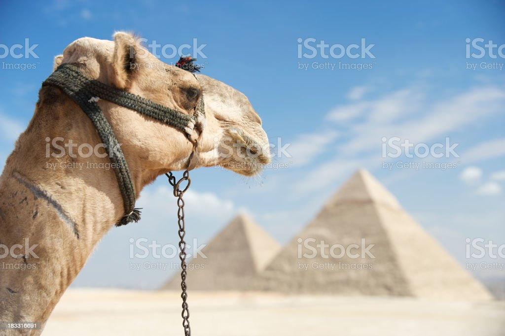 Camel Looks Out Over Great Pyramids Egypt royalty-free stock photo