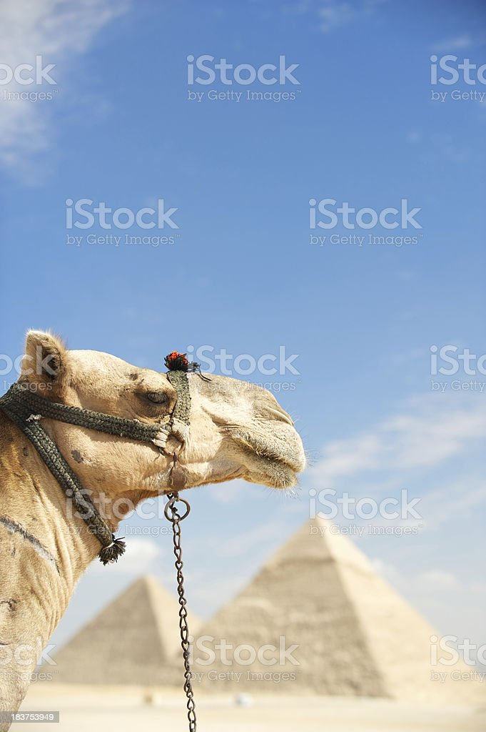 Camel Looks Out Over Great Pyramids of Giza royalty-free stock photo