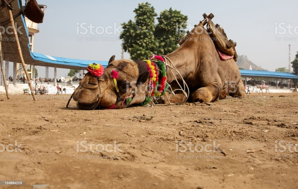 Camel lying flat on the ground closeup stock photo