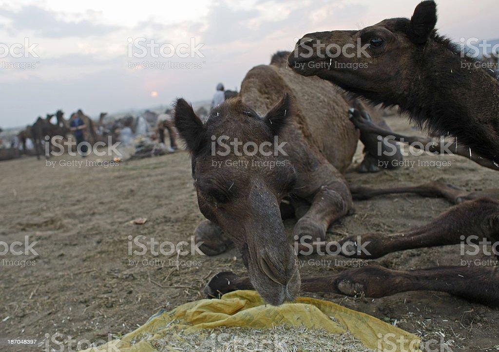 Camel market royalty-free stock photo
