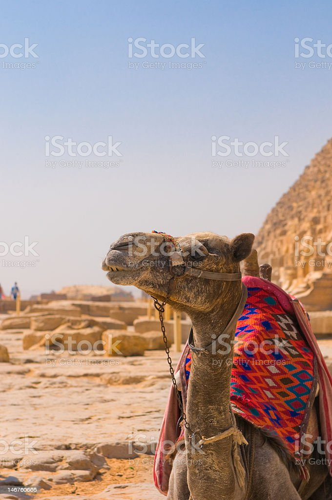 Camel next to pyramid in Giza, Cairo royalty-free stock photo