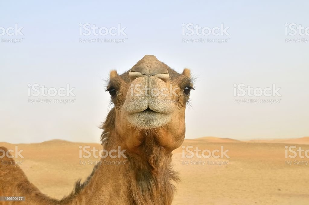 Camel Nose Shot royalty-free stock photo
