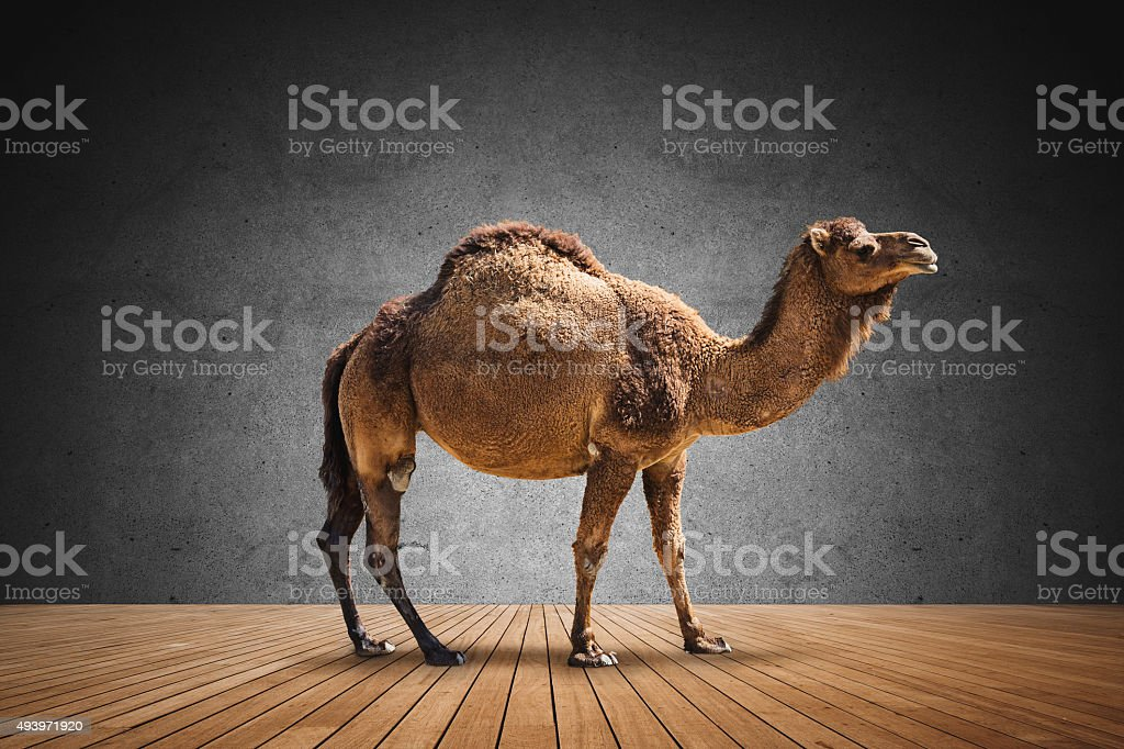 Camel on domestic room stock photo