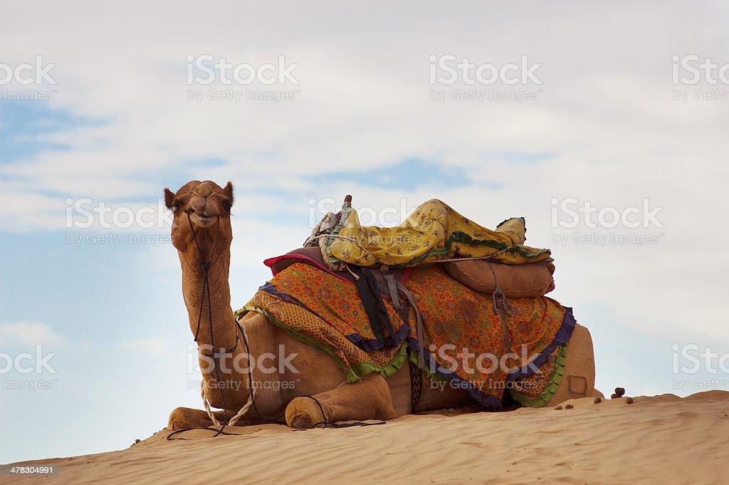 Camel on sand dune stock photo