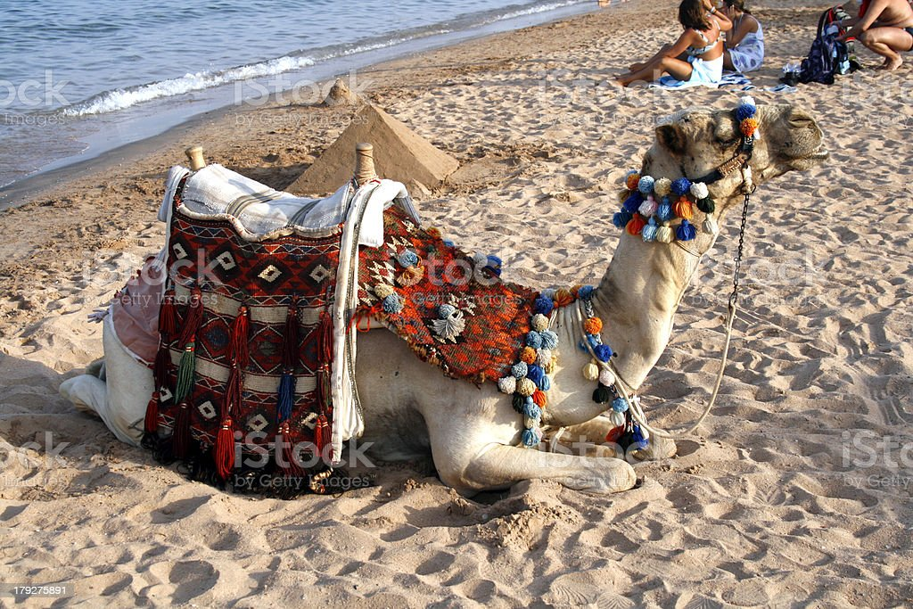 Camel on the Beach - Red Sea Egypt royalty-free stock photo
