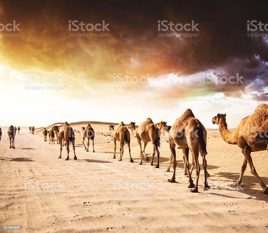 camel on the desert stock photo