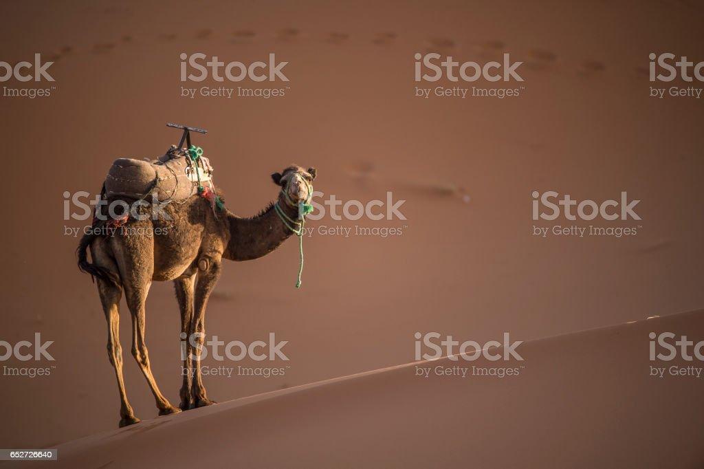 Camel on the dunes of the Sahara desert stock photo