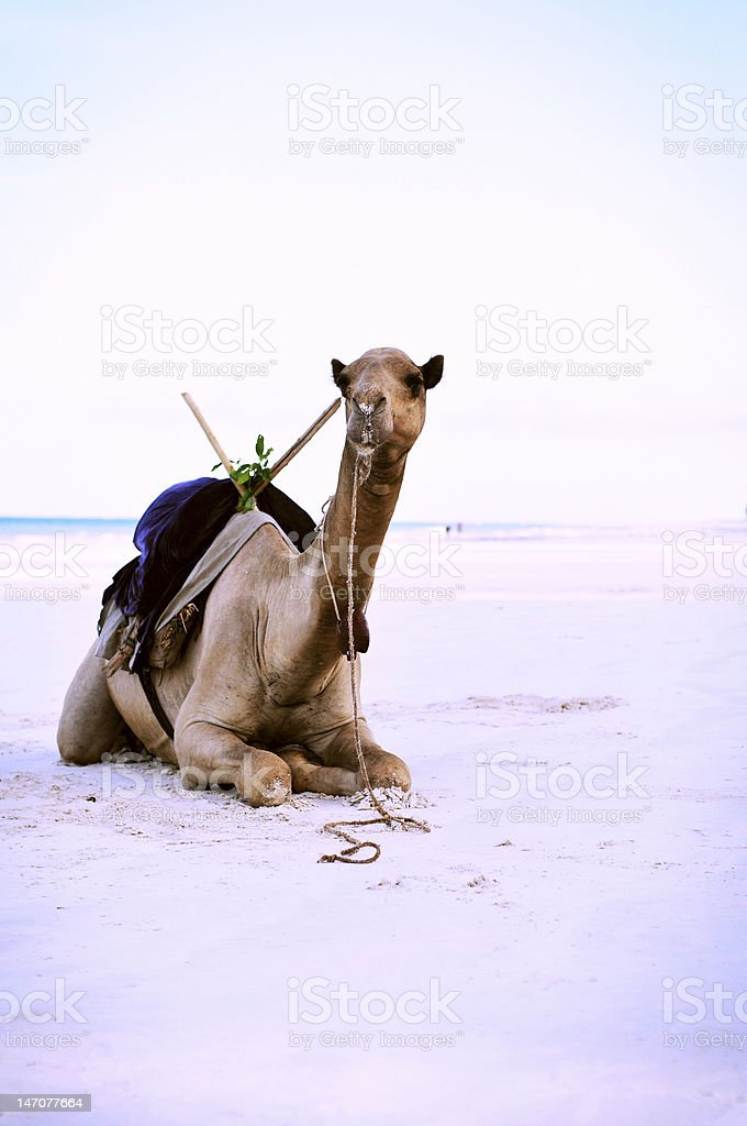 Camel on the kenyan beach royalty-free stock photo
