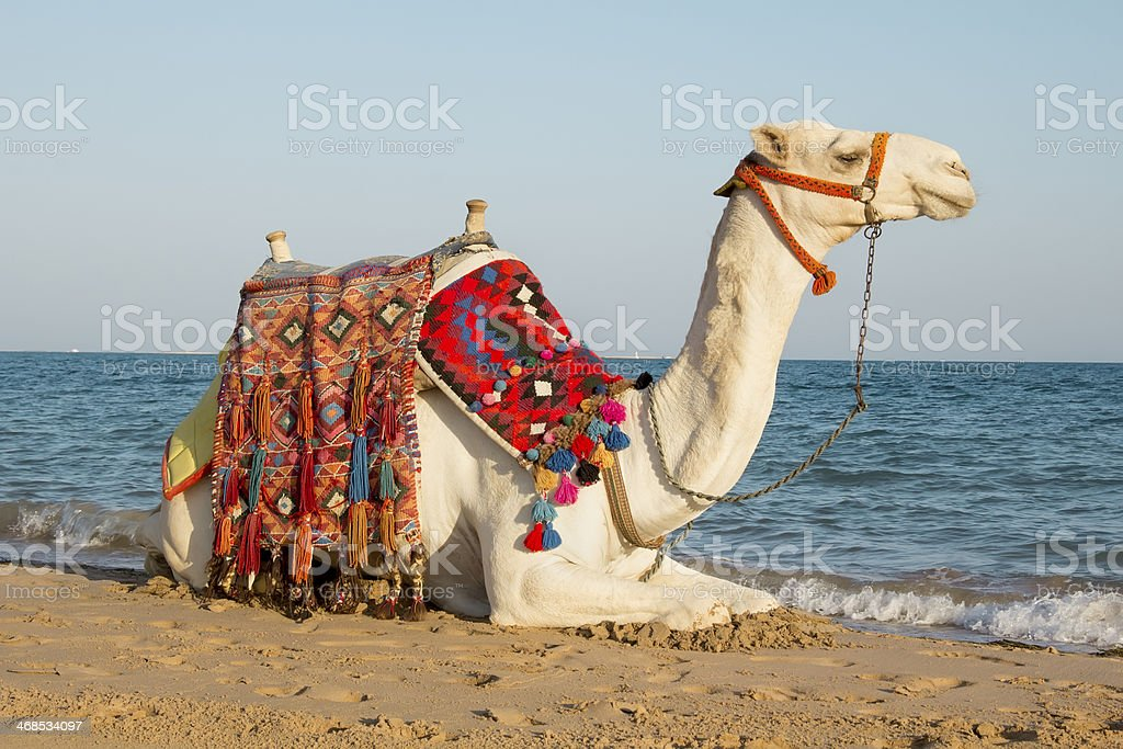 camel on the sunny seaside stock photo