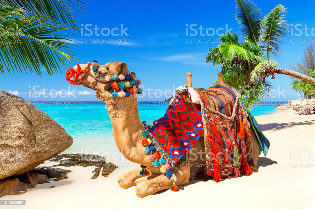 Camel on the tropical beach stock photo