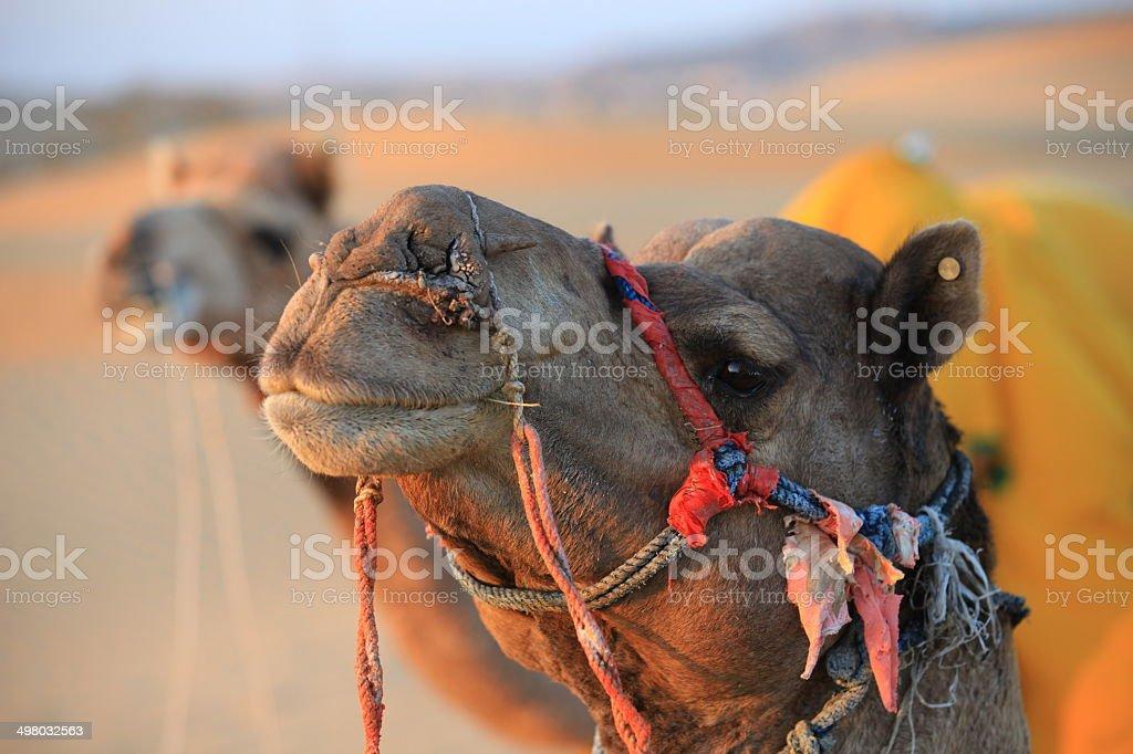 Camel - Osian, India royalty-free stock photo