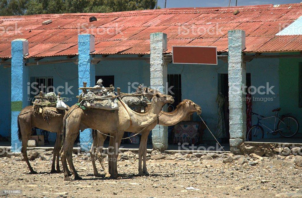 camel park royalty-free stock photo