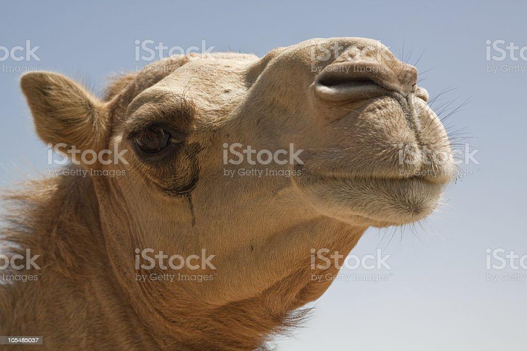 Camelo foto de stock royalty-free