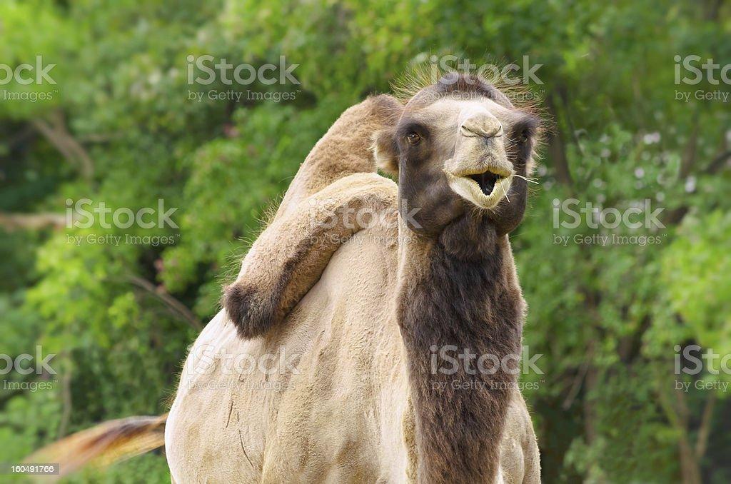 Camel royalty-free stock photo