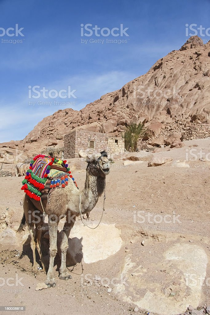 Camel royalty-free stock photo