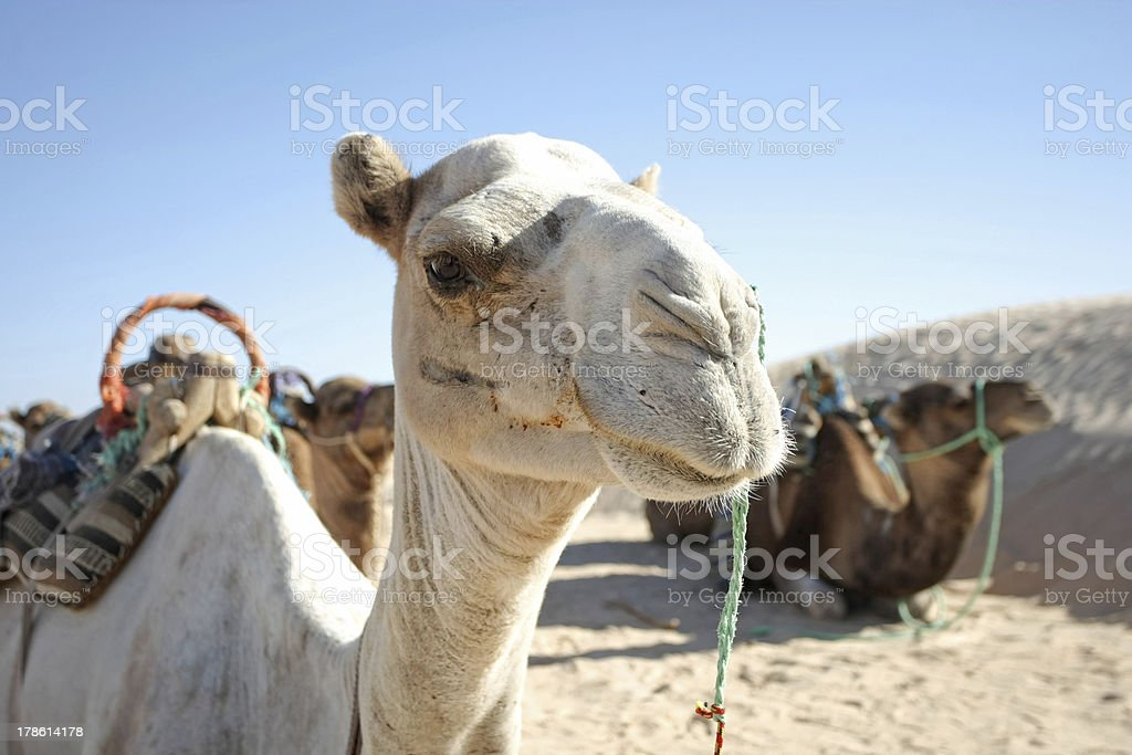 Camel portrait royalty-free stock photo