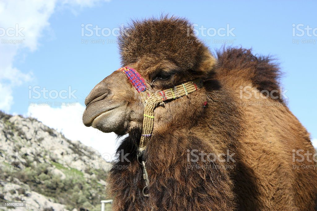 Camel portrait royalty-free stock photo
