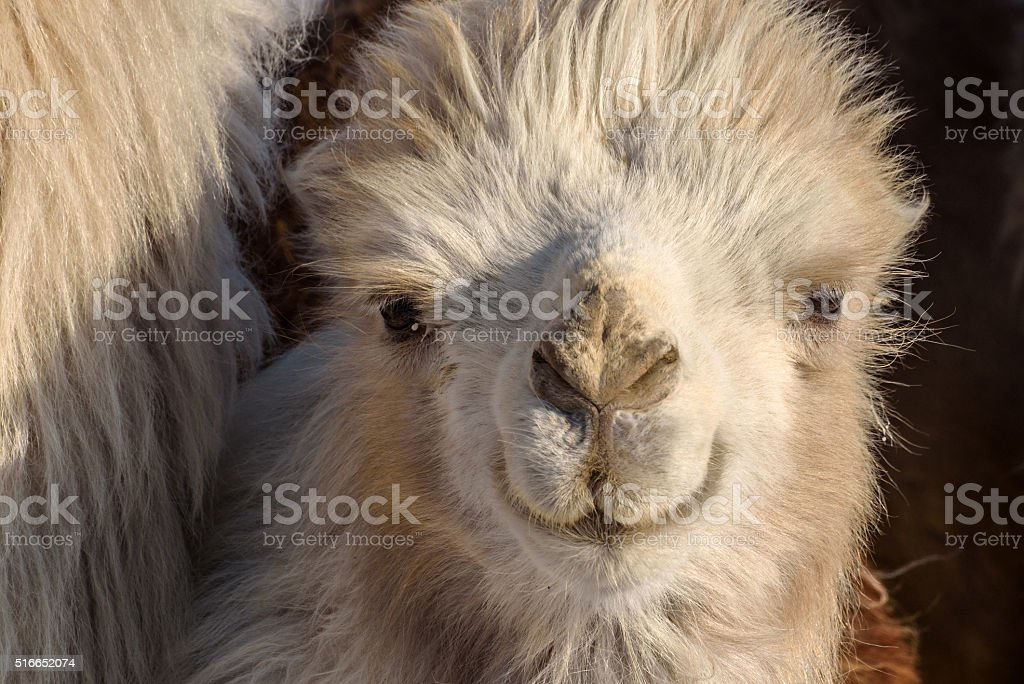 camel portrait winter farm stock photo