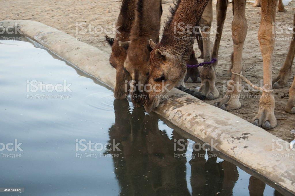 Camel, Pushkar, Ajmer, Rajasthan, India - Stock Image stock photo