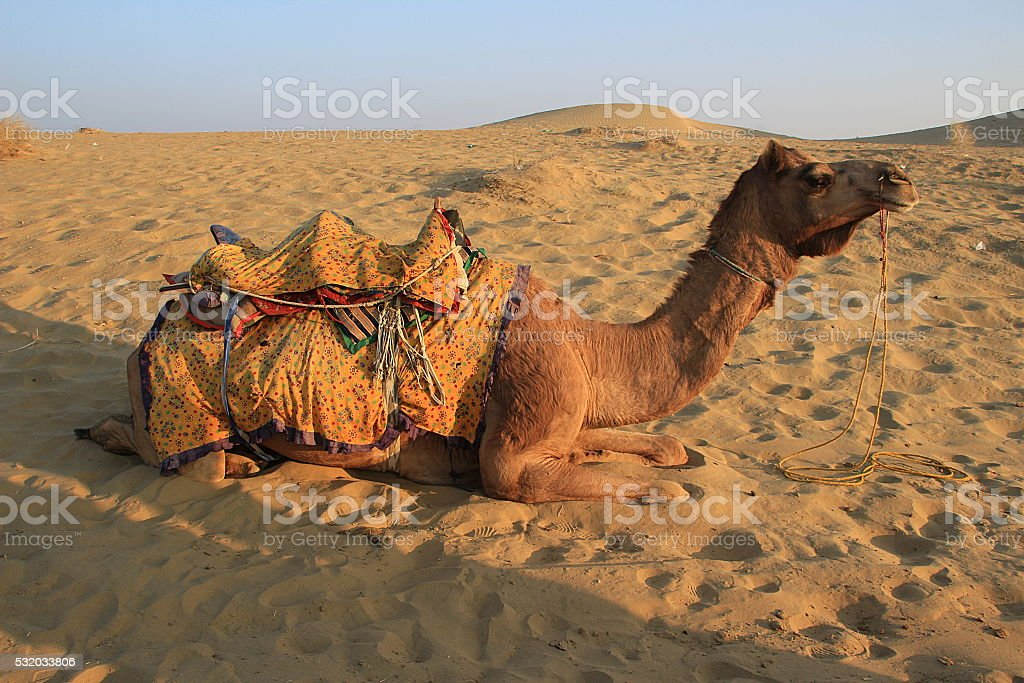 Camel Relaxing on sand stock photo