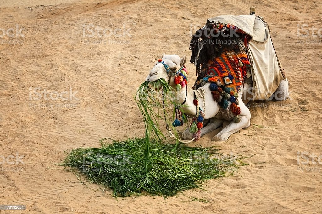 Camel Resting and Eating Grass at Desert stock photo