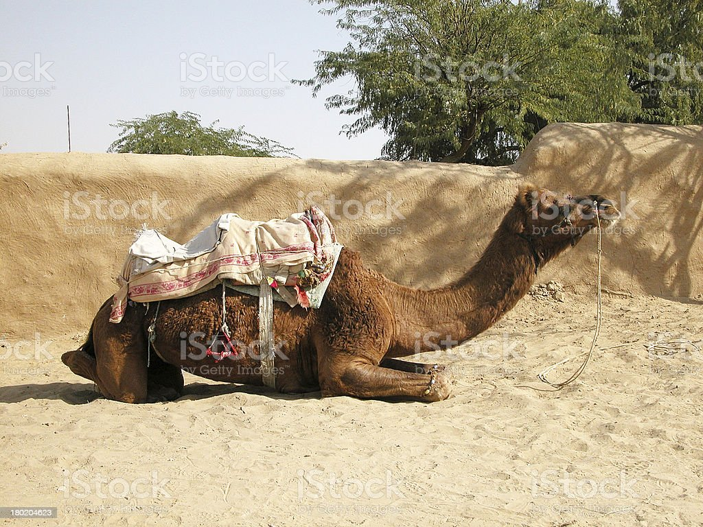 Camel resting in the Desert royalty-free stock photo