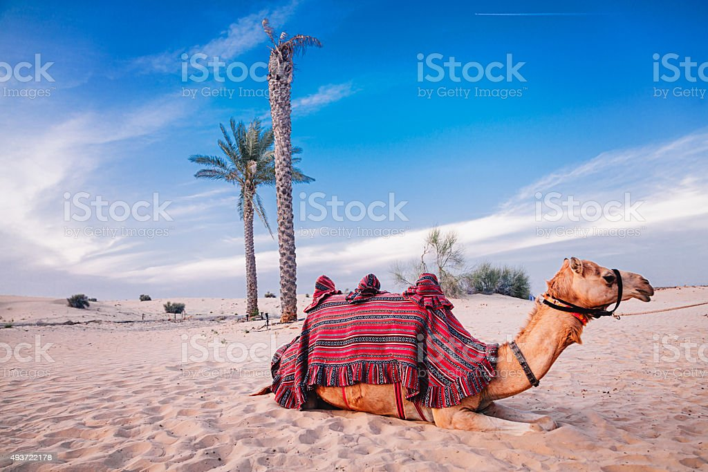 Camel resting in the desert stock photo