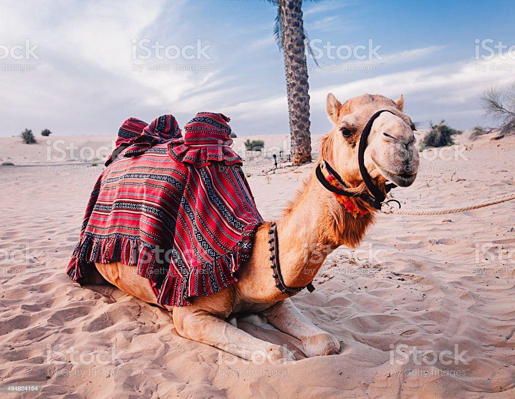Camel resting in the desert stock photo
