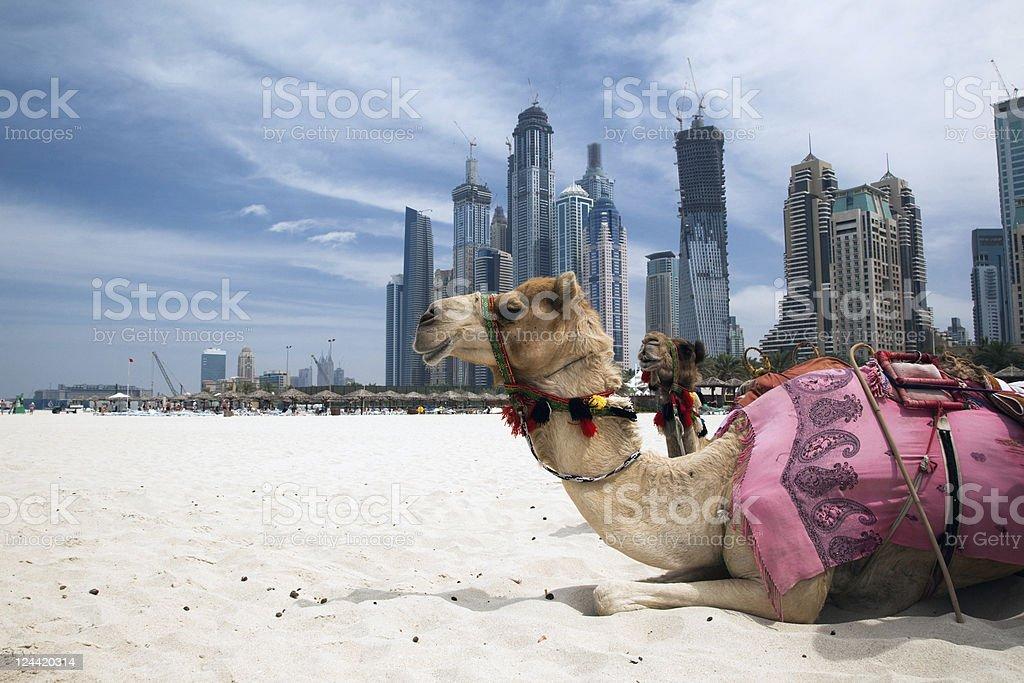 Camel resting outside a city stock photo