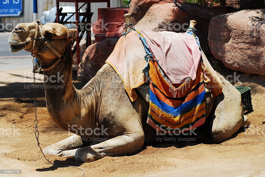 Camel Rides royalty-free stock photo