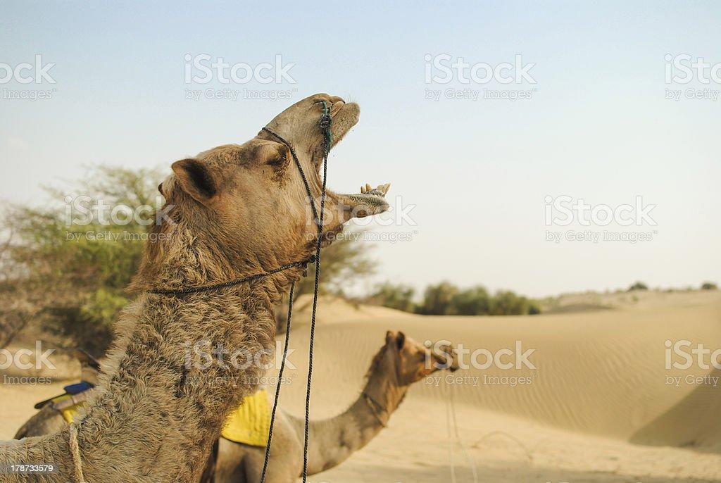 Camel Screaming With Joy royalty-free stock photo