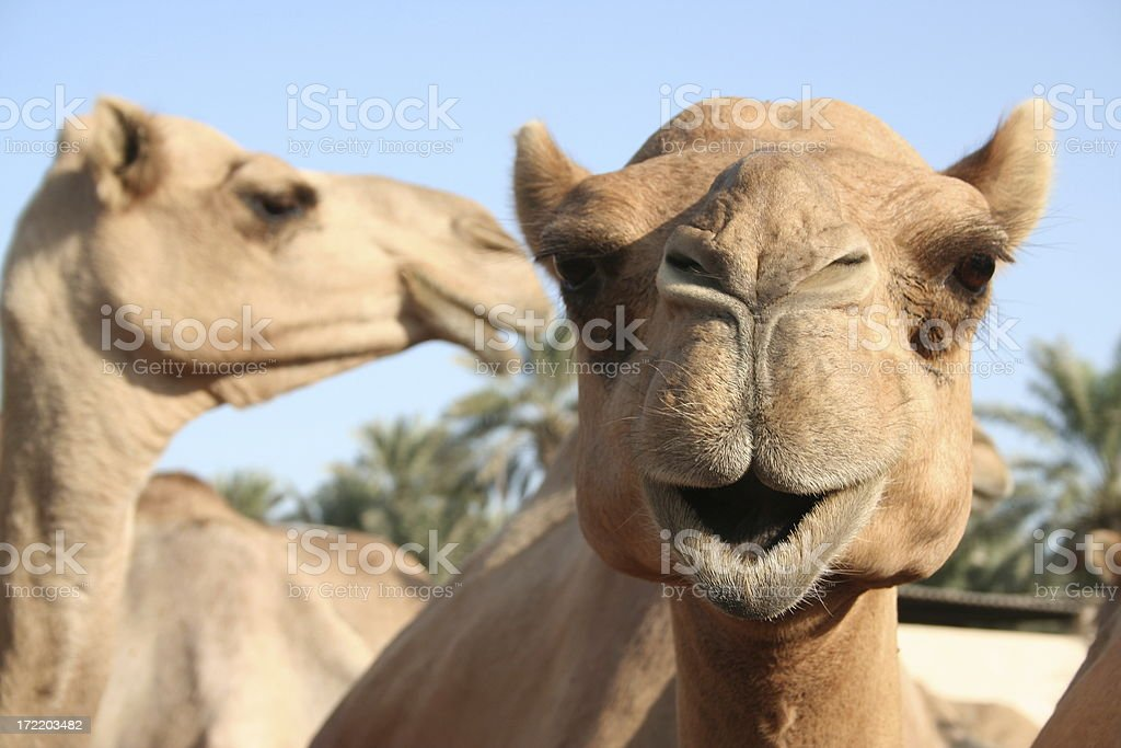 Camel Secrets stock photo