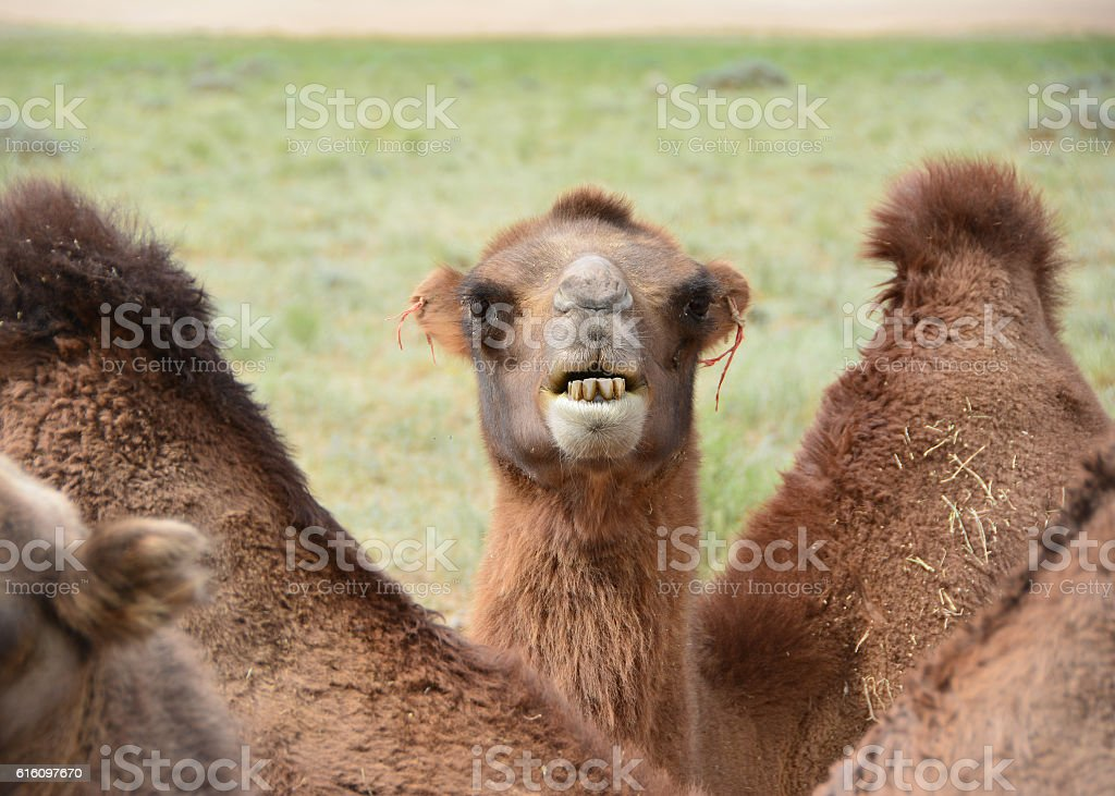 Camel showing his teeth stock photo