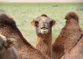Camel showing his teeth