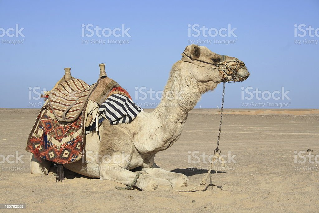 camel sits stock photo